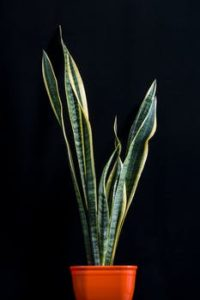 Sanseveria_plant_air_cleaning